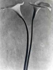 Tina Modotti, Calla Lilium, 1925